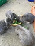 Kaninchen 1.1