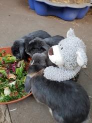 Kaninchen 1.2